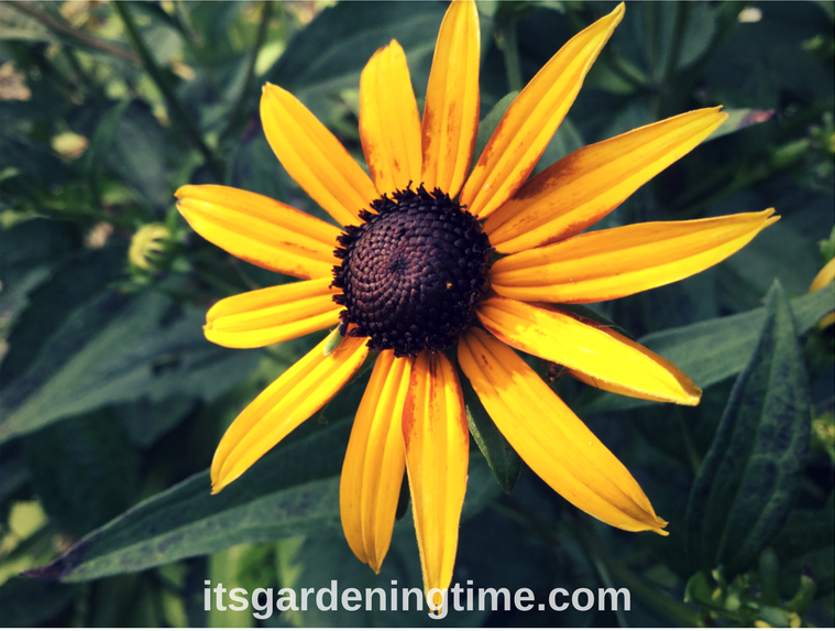 Black-Eyed Susan Joins Summer Parade! how to garden beginner gardener beginner gardening