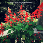 When & How to #Prune Salvia #Plants! #garden #gardening