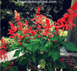 When & How to Prune Red Salvia how to garden how to prune pruning when to prune how to prune flower prune flowers beginner gardening beginner gardener