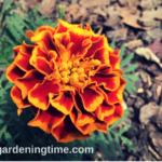 5 Weeks from #Seed to #Marigold #Flowers! #growfromseed