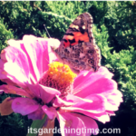 Painted Lady #Butterfly Loves #Zinnias! #butterflies #flowers