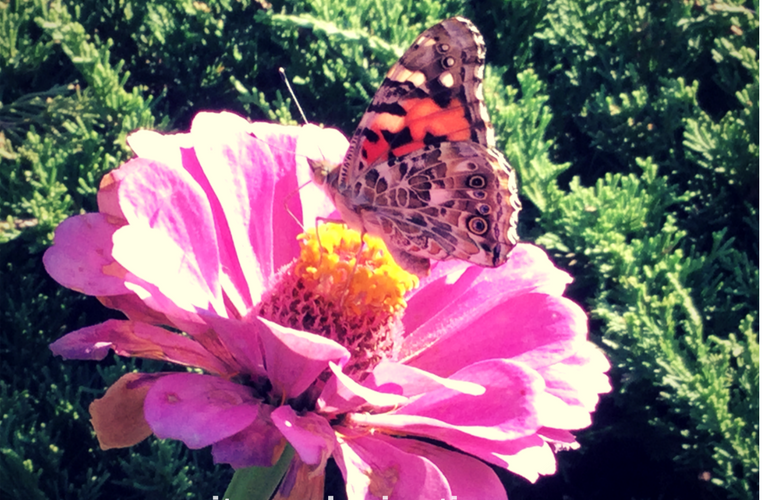 Painted Lady Butterfly on Zinnia how to garden butterflygarden butterflygardens butterflygardening beginner gardener beginner gardening