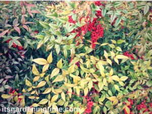 Heavenly Bamboo Shrub in Late Autumn shrubs shrubbery beginner gardener beginner gardening how to garden