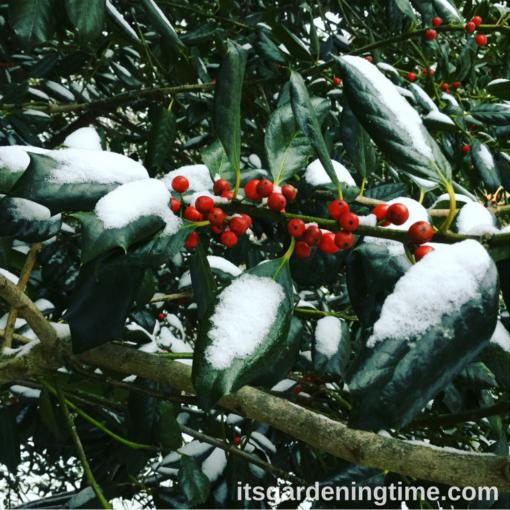 Nellie Stevens Holly in Snow! how to garden beginner gardener beginner gardening
